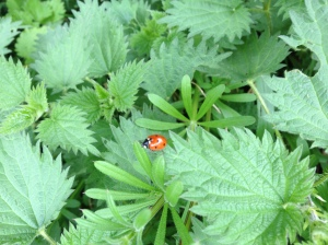 Ladybird and nettles
