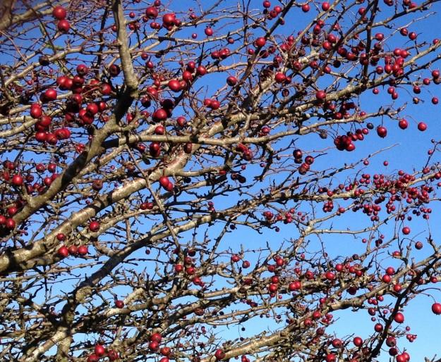 Hawthorn Bush